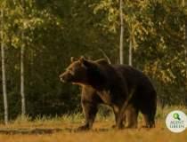 Cel mai mare urs din România...