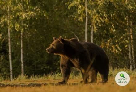 Cel mai mare urs din România a fost ucis de un prinț din Austria