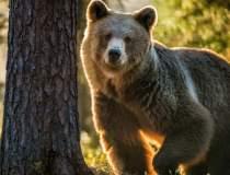Cazul ursului Arthur, în...