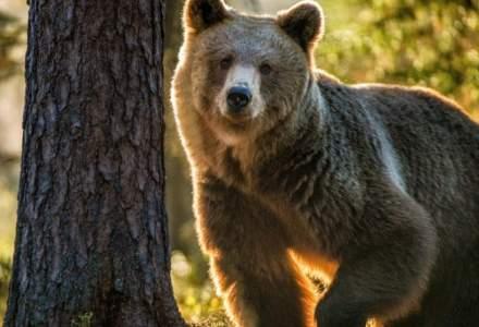 Ministrul Mediului: Fără soluţii, braconajul va fi răspunsul cetăţenilor la situația urșilor