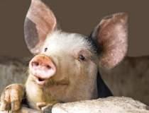 Crescatorii de porci au...