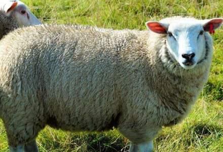 Oierii au ramas cu 1 milion de oi nevandute din cauza bolii limbii albastre, pierzand 80 mil. euro