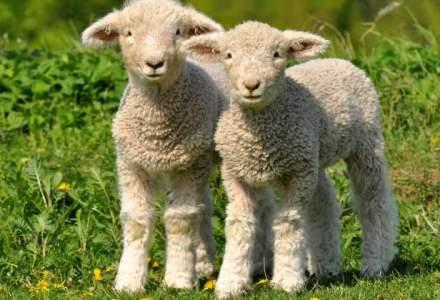 Romanii au mancat 3,5 milioane de miei de Paste, fata de 2,5-3 milioane anul trecut