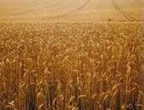 Cultivatorii de cereale...