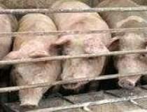 Porcul romanesc ar putea...
