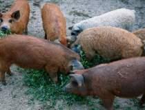 Ferma de porci Mangalita, o...