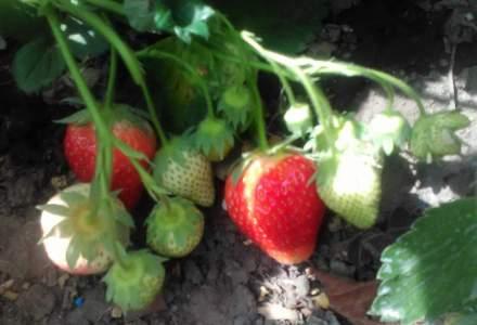 O familie din Bacau a investit 2.500 de lei intr-o plantatie de capsuni