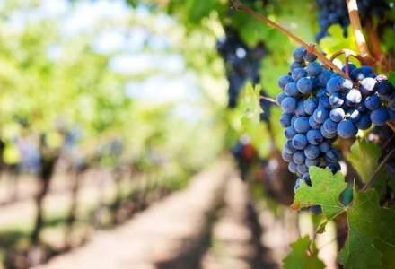Marea Britanie va deveni exportator de vinuri peste cinci ani, incalzirea climatica favorizeaza cultivarea vitei de vie