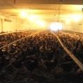 Sucursala Avicola din Mihailesti - Foto 4 din 8