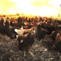 Sucursala Avicola din Mihailesti - Foto 5 din 8