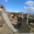 Un fermier din Buzau a investit 50.000 de euro intr-o ferma cu struti - Foto 1