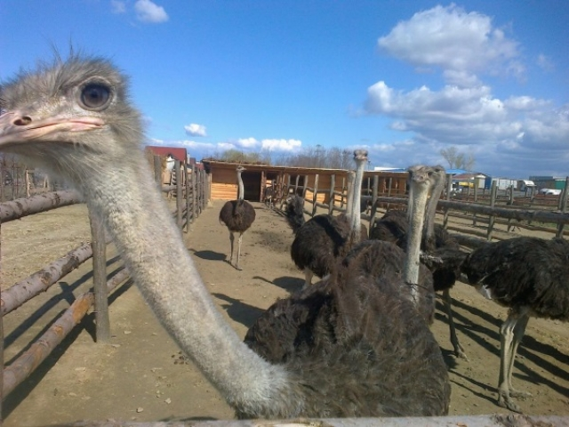 Un fermier din Buzau a investit 50.000 de euro intr-o ferma cu struti - Foto 1 din 5