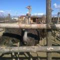 Un fermier din Buzau a investit 50.000 de euro intr-o ferma cu struti - Foto 2