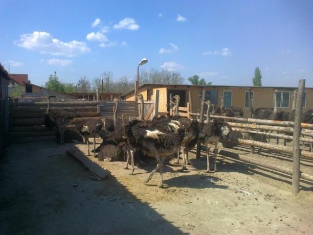 Un fermier din Buzau a investit 50.000 de euro intr-o ferma cu struti - Foto 3 din 5