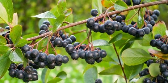 Plantatie de aronia pe un hectar