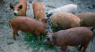 Porcul Mangalita sau maslina cu 4 picioare