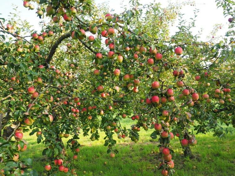 Tot ce ar trebui să știi despre întreținerea pomilor fructiferi